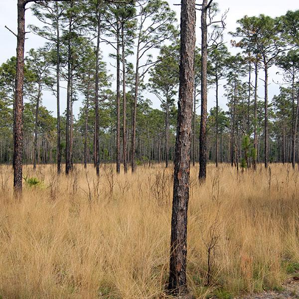 Longleaf Pine Sandhills