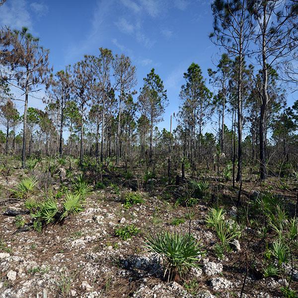 Pine rockland habitat after a burn - Navy Wells Preserve