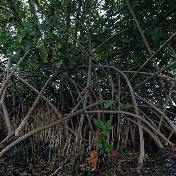 Red mangrove at Biscayne Bay