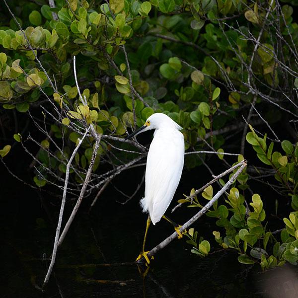 Snowy egret - Miami Dade County