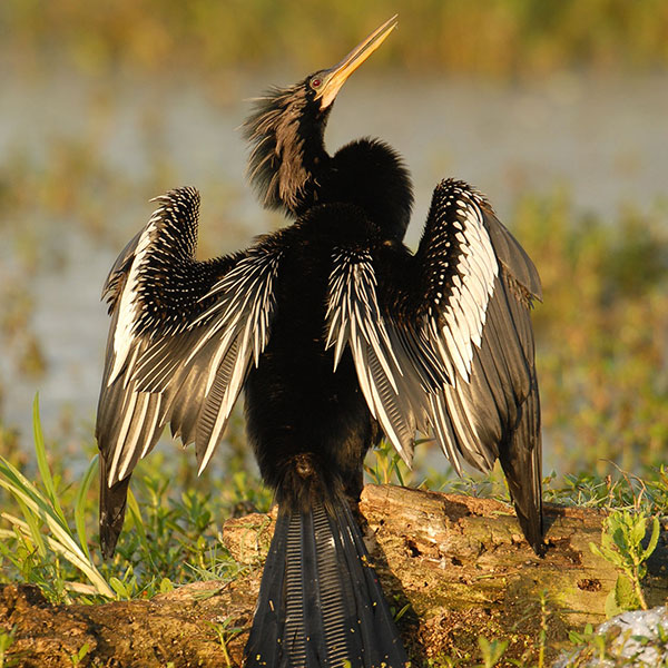 Anhinga - Circle-B-Bar Ranch