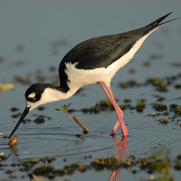 Black Necked Stilt - Circle-B-Bar Ranch