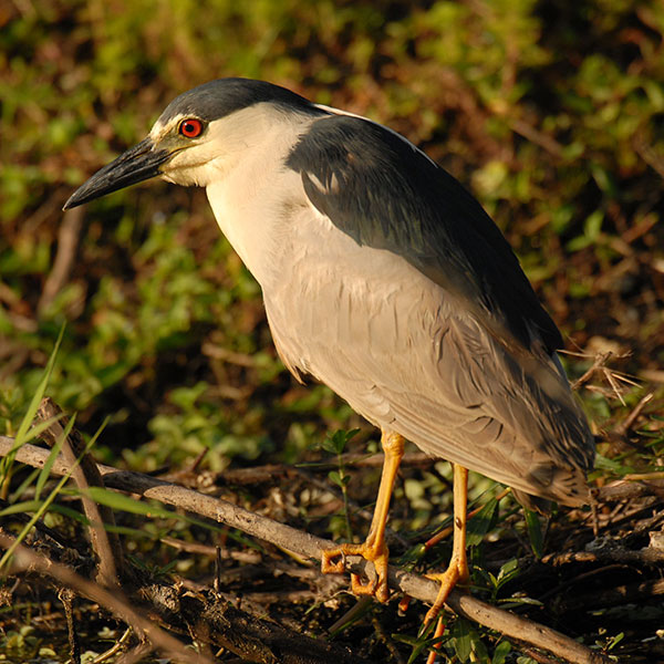 Black Crowned Night Heron - Circle-B-Bar Ranch