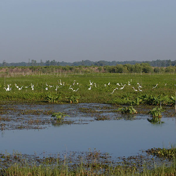 Wading Birds on Circle-B-Bar