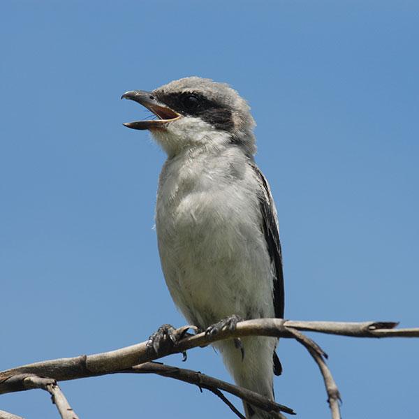 loggerhead shrike on ag lands in Osceola County