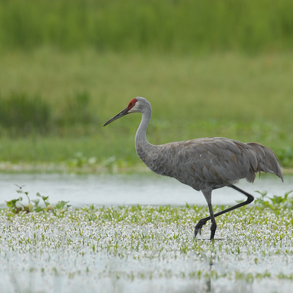 sandhill crane on natural lands in Osceola County