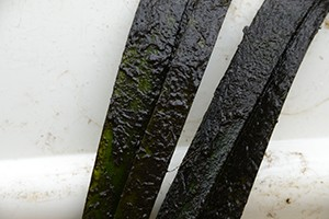 algae-coated-leaves-of-eelgrass-from-the-Little-Wekiva-River