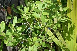 huckleberries-at-Rock-Springs-Run-State-Reserve