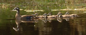 wood-ducks-on-a-pond-in-the-Wekiva-Basin