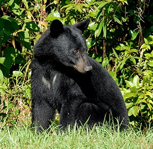 young-bear-in-the-Wekiva-Basin