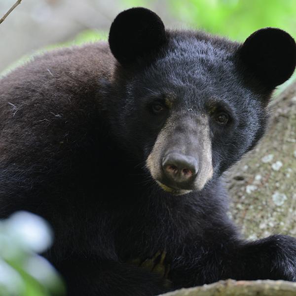 Bear-in-a-tree