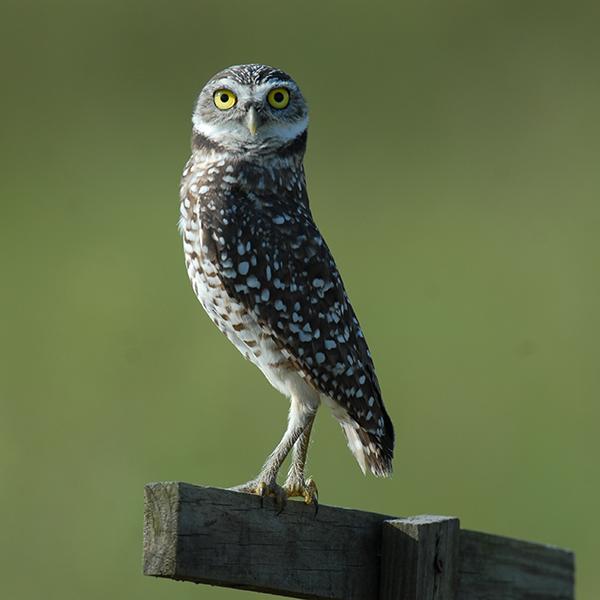Burrowing-owl-Neighborhood-Lakes