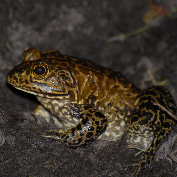 Pig-frog