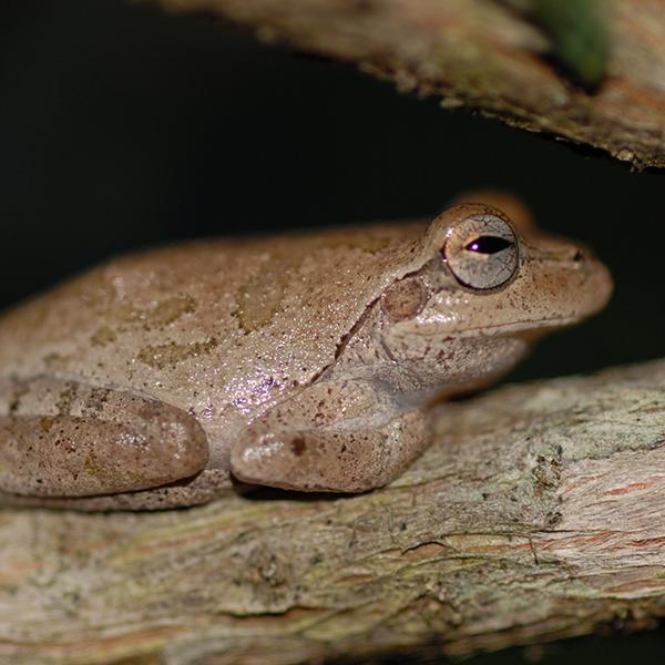 Pinewoods-treefrog
