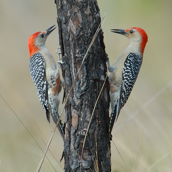 Red-bellied-woodpeckers-at-WSSP