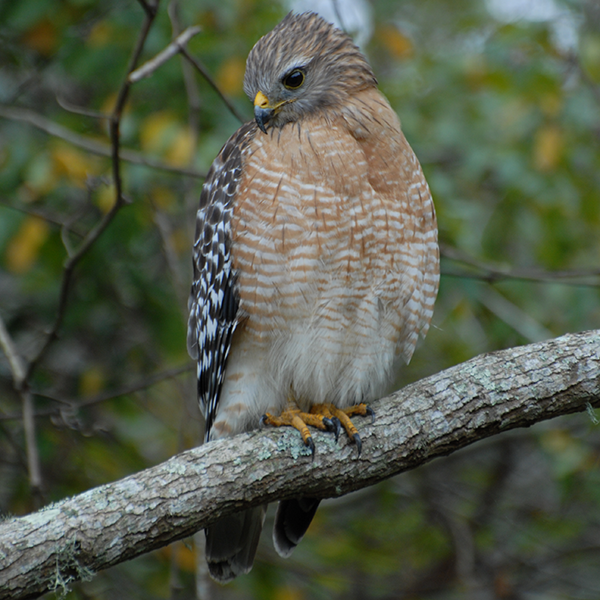 Red-shouldered-hawk-Wekiva-Basin