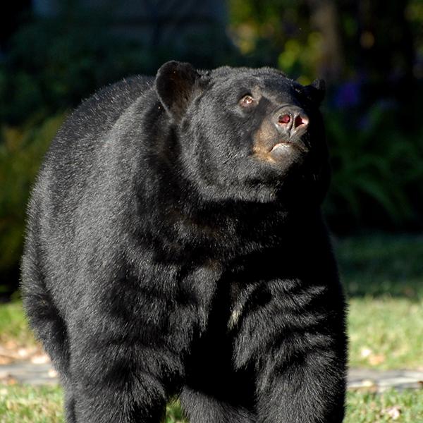 bear-in-Wingfield-Reserve