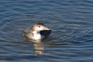 common-loon-2013-Wekiva-CBC