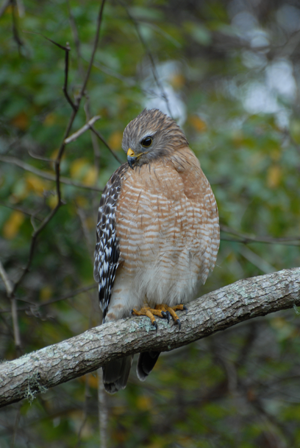 red-shouldered-hawk-2010-Wekiva-CBC