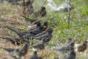 American-robins---Wekiva-count-circle