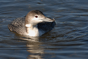 Common-loon---Wekiva-count-circle