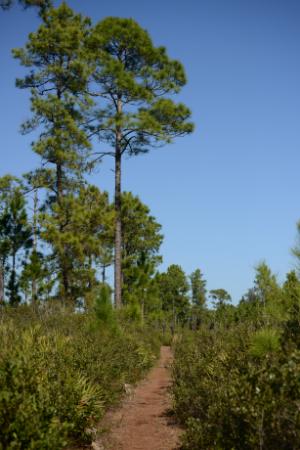 pine flatwoods-w300