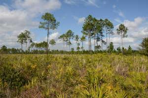 pine_flatwoods-w300