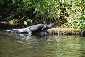 Alligator sunning on Rock Springs Run