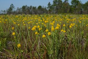 Wet Prairie in Seminole State Forest