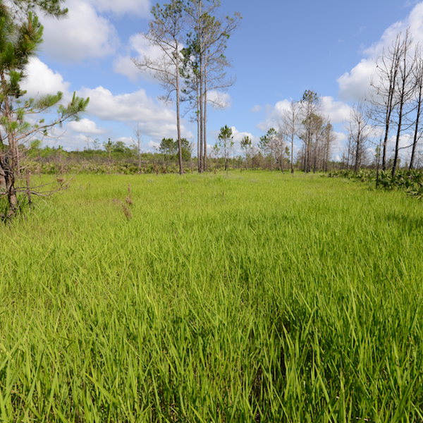 Isolated Herbaceous Marsh on Seminole State Forest