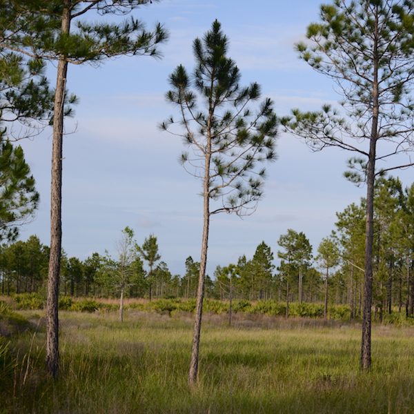 Isolated Wet Prairie in Seminole State Forest
